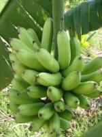 Green bananas growing at the gate to the farm
